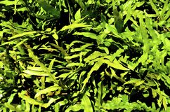 Zielonej trawy ziele lub hamulec, paproć Fotografia Royalty Free