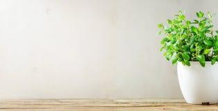 Zielony świeży aromatyczny zielarski melissa, mennica w białym garnku na drewnianym tle sztandar Copyspace zdjęcie royalty free