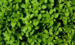Zielony świeży basil opuszcza naturalnego tła wzór obraz stock
