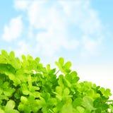 Zielony świeży koniczyny pole Zdjęcia Stock