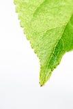 Zielony świeży liść od gałąź drzewo odizolowywający Zamyka w górę szczegółu liść Obrazy Stock