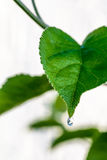 Zielony świeży liść od gałąź drzewo odizolowywający Zamyka w górę szczegółu liść Zdjęcie Royalty Free