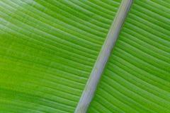 Zielony świeży liść od gałąź drzewo Zamyka w górę szczegółu liść Zdjęcia Stock