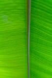 Zielony świeży liść od gałąź drzewo Zamyka w górę szczegółu liść Fotografia Royalty Free
