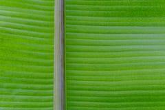 Zielony świeży liść od gałąź drzewo Zamyka w górę szczegółu liść Obrazy Stock