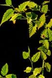 Zielony świeży liść od gałąź drzewo Zamyka w górę szczegółu liść Fotografia Stock