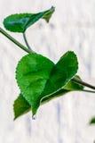 Zielony świeży liść od gałąź drzewo Zamyka w górę szczegółu liść Zdjęcie Royalty Free