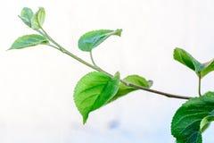 Zielony świeży liść od gałąź drzewo Zamyka w górę szczegółu liść Zdjęcie Stock