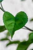 Zielony świeży liść od gałąź drzewo Zamyka w górę szczegółu liść Obrazy Royalty Free