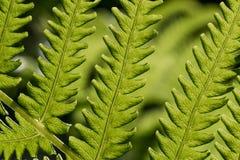 Zielony świeży paprociowy liść zdjęcia stock