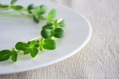 Zielony świeży słonecznik kiełkuje - pojęcie dla zdrowego odżywiania, c obraz royalty free