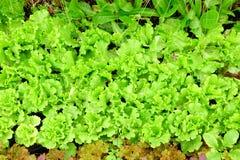 Zielony świeży warzywo Obraz Royalty Free