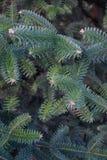 Zielony świerkowy gałąź vertical tło Zdjęcia Royalty Free