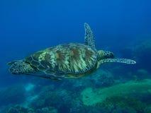 zielony żółw Obrazy Stock