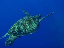 zielony żółw Fotografia Stock