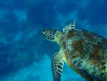 zielony żółw Obraz Stock