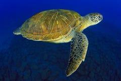 zielony żółw Zdjęcia Stock