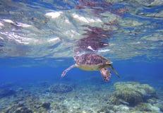 Zielony żółw bierze oddech od wody powierzchni Snorkeling z morskim zwierzęciem Obrazy Stock