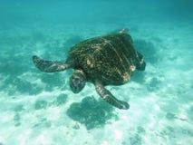 Zielony żółw Galapagos obrazy stock