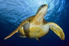 Zielony żółw pod słońcem Zdjęcia Royalty Free