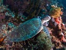 Zielony żółw przy Bunaken Zdjęcie Stock