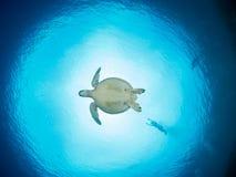 Zielony żółw przy Bunaken Zdjęcie Royalty Free