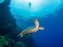 Zielony żółw przy Bunaken Obraz Stock