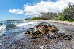 Zielony żółw przyjeżdża przy brzeg w Hawaje Zdjęcie Royalty Free