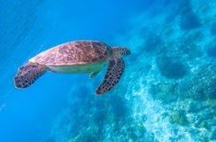 Zielony żółw w błękitne wody Seashore tortoise i laguna Dziki zielony żółw w tropikalnej lagunie Zdjęcia Royalty Free