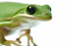 zielony żaba portret fotografia stock