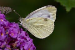 Zielony żyłkowaty motyl na purpura kwiacie Zdjęcia Royalty Free