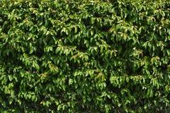 Zielony żywopłotu tło Obraz Stock