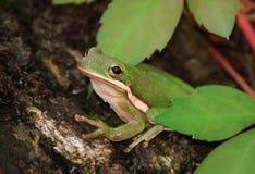 zielony żaby drzewo Zdjęcia Stock