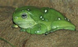 zielony żaby drzewo Obrazy Stock