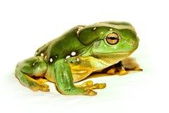 zielony żaby drzewo Obrazy Royalty Free