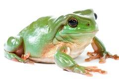 zielony żaby drzewo Fotografia Stock