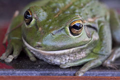 zielony żaby drzewo Fotografia Royalty Free