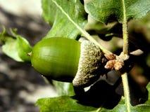Zielony acorn Zdjęcia Royalty Free