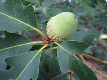 Zielony acorn Fotografia Stock