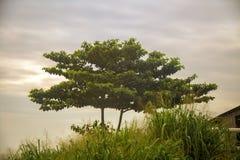Zielony Afrykański drzewo podczas ranek mgły Obraz Stock