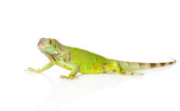 Zielony agama w profilu pojedynczy białe tło Fotografia Stock