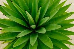 Zielony agava tło Obraz Stock
