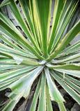 Zielony agawa abstrakta tło Fotografia Royalty Free