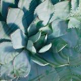 Zielony agawa kaktus z kolorowym wzorem zdjęcia royalty free