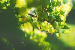 Zielony agrest r na gałąź w lecie Obrazy Royalty Free