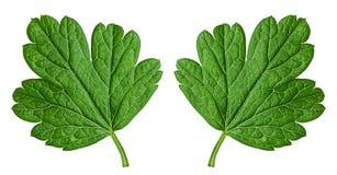 Zielony agrestowy liść Zdjęcie Stock