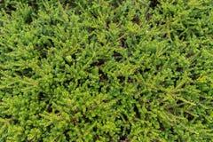 Zielony Agrestowy wrzos Zdjęcia Royalty Free