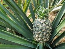 Zielony ananas Fotografia Royalty Free