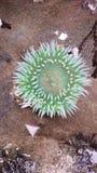 Zielony anemon fotografia royalty free
