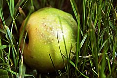 Zielony Apple w mokrej zielonej trawie zdjęcia stock